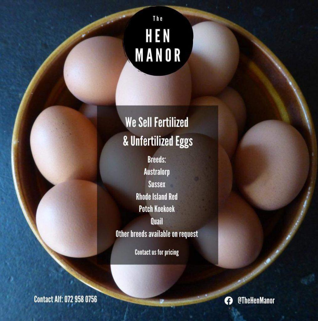 Black Australorp fertile eggs