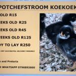 Potchefstroom Koekoeks 5-week-old Hens
